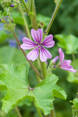 Common mallow (Alan Buckingham) Tags: pink mallow wildflower malvasylvestris commonmallow waldrondowncottage