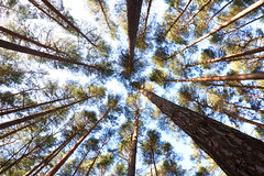 worms eye view (spencerrushton) Tags: wood uk blue trees sky sun abstract colour tree green nature beautiful canon outdoors woods availablelight walk wide surry windsor spencer berkshire 1022mm pinetrees windsorgreatpark 2016 canonefs1022mmf3545usm rushton widelens canonlens windsoruk spencerrushton 760d canon760d