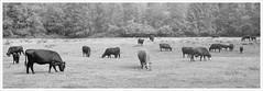 Out To Pasture (El Bizo) Tags: landscape washington fuji cows kodak tmax meadow d76 pasture epson olympicnationalpark hohrainforest g617 v750
