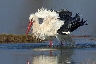 White stork bath b