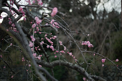 weeping plum blossom (kasa51) Tags: pink winter flower tree japan spring blossom plum apricot yokohama blanch  shidareume