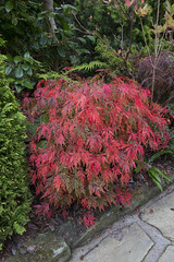 Acer palmatum dissectum changing to red in autumn (Four Seasons Garden) Tags: uk autumn england colour leaves marie garden four japanese maple seasons award tony foliage national deciduous newton winning walsall 2015 acers dissectum