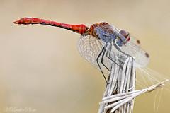 Ruddy Darter (Horst Beutler) Tags: pentax dragonfly wildlife libelle manualfocus istds darter libellulidae ruddydarter heidelibelle meadowhawk sympetrum sympetrumsanguineum blutroteheidelibelle segellibelle smcpentaxa200mmf4macroed copyrighthorstbeutlerphotography smcpentaxfafadapter17x f111180seciso400