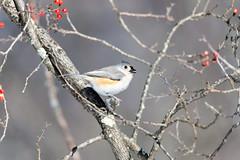 quabbinwinter2016-414 (gtxjimmy) Tags: winter bird mouse nikon tit massachusetts newengland reservoir tufted quabbin tamron songbird quabbinreservoir d600 watersupply nikond600 150600mm