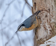 Red-breasted Nuthatch (Summerside90) Tags: winter snow ontario canada nature birds garden backyard wildlife february birdwatcher redbreastednuthatch