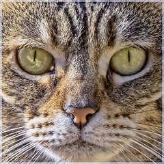 GATO (BLAMANTI) Tags: gatos