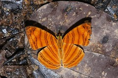 Chersonesia rahria (moloch05) Tags: malaysia taman negara