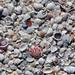 Mollusc shells on marine beach (Algiers Beach, Sanibel Island, Florida, USA) 5