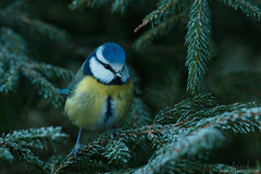 Wearing a blue cap (Karl Adami - www.adamifoto.com) Tags: winter cute beautiful forest woodland europe estonia tits wildlife small north adorable east winged cutest bluetit boreal blueish songbirds birdlife cyanistescaeruleus birdphotography passerines birdphotographers