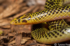 Xenocalamus transvaalensis - Transvaal Quill Snout Snake. From Hluhulwe, Kwa-Zulu Natal. (Tyrone Ping) Tags: canon snake ngc rare venomous 100mmmacrof28 xenocalamus transvaalensis canon7d tyroneping wwwtyronepingcoza
