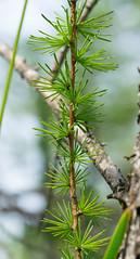 Tamarack (Larix laricina) (wackybadger) Tags: tree wisconsin branch tamarack larixlaricina rockcounty wisconsinstatenaturalarea nikond3300 nikon105mmf28gafsmacro11vr limabogsna sna219 wisconsinstatewildlifearea limamarshwildlifearea
