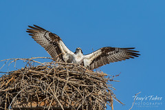 Osprey returns from Home Depot sequence - 22 of 27