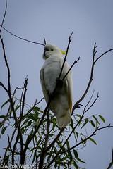 Sulfur Crested Cockatoo (aaron.wiggan) Tags: march australian australia cockatoo 2016 nativebird brushtail cabbagetreecreek aaronwiggan mangrovestomountains