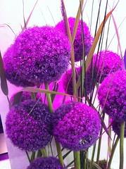 Allium Giganteum / Purple Flower / Riesen Lauch (ConstantinWied) Tags: pink light flower color green beauty leaves giant licht big stem pretty purple little lila pot grn blume blte bltter photostream gros lauch brith starch riesig alliumgigantum riesenlauch lizensfrei fablich