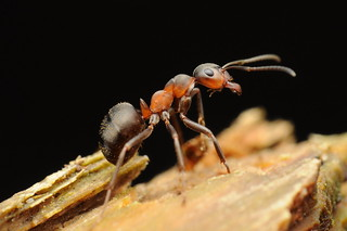 European red wood ant (Formica polyctena)
