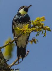 Acorn Woodpecker (orencobirder) Tags: birds woodpeckers flickrexport largebirds