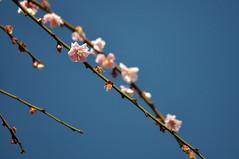 Apricot (Hirotsugu Y) Tags: blue sky spring kyoto jonangu