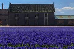 Hyacinthus Hillegom-Lisse-9 (5) (Rudaki1959) Tags: blue sky netherlands barn bulbs hyacinthus