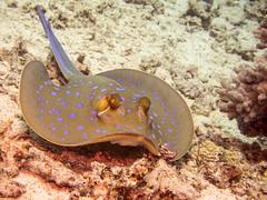 Ray-4 (shayhaas) Tags: ray underwater stingray wildlife redsea scuba diving sealife jeddah saudiarabia bluespottedstingray