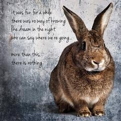More Than This (Jeric Santiago) Tags: pet rabbit bunny animal lyrics conejo melancholy lapin hase kaninchen roxymusic   morethanthis winterrabbit