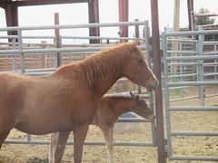 (nevada4949) Tags: blm ridgecrest wildhorse