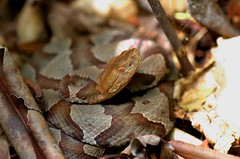 Red eye - Northern Copperhead (Agkistrodon c. mokasen) (aaronsemasko) Tags: northern copperhead agkistrodon mokasen