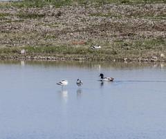 Avocet (2) (Mal.Durbin Photography) Tags: nature birds newport naturereserve newportwetlands maldurbin goldcliffnewport