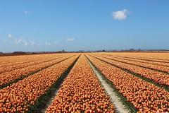 Tulips (dariusz_ceglarski) Tags: park flowers red plant flower holland netherlands dutch canon landscape tulips outdoor nederland natuur zeeland flowerbed tulip netherland holanda nl tuin wit hollands goeree overflakkee landschap niederlande tulpen holand middelharnis zuidholland goereeoverflakkee netherlads tulipes dariusz flakkee holandsko tulipany holandia hollanda krajobraz plantflower tlpanar dirksland herkingen nederlando ceglarski holadnia goereeover dariuszceglarski