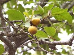 FM-Diospyros.melanoxylon-FrtBrch (florimagix) Tags: tree forest tropical ebony coromandel diospyros melanoxylon