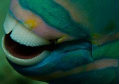 Teeth_Bonaire_April 2016_ (R13X) Tags: teeth diving bonaire parrotfish macrophotography underwaterphotography somethingspecial shorediving barireef caribbeandiving bonairediveandadventure