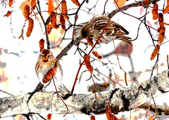 Posterized Redpolls 8684p (Jeff Brough) Tags: abstract idaho posterized redpolls redpool jeffbrough