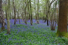 """Bluebell Woods • <a style=""""font-size:0.8em;"""" href=""""http://www.flickr.com/photos/40693415@N05/26031504853/"""" target=""""_blank"""">View on Flickr</a>"""