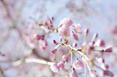 pink blossoms (Louis Umerlik) Tags: park pink macro tree spring blossoms maryland baltimore wyman