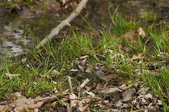 White-throated Sparrow (mjcarsonphoto) Tags: whitethroatedsparrow sandyridge