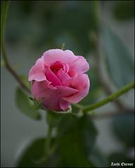 Pink Rose Bud IZE_15430 (Zachi Evenor) Tags: flowers roses flower rose garden israel gardening april mygarden    2016 rosea            zachievenor