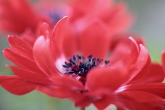 The Dance~ (Connie Etter Photography) Tags: flowers red flower macro floral closeup canon flora backyard 100mm anemone floralart flickrflowers