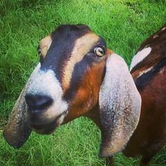 Pic I found on my old... (Juliette_Adams) Tags: goat nubian farmlife dairygoat milkgoat uploaded:by=flickstagram instagram:photo=67452888973217782346253686