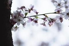 IMG_6723 (elenafrancesz) Tags: cherry blossoms wordless