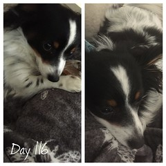 """Project 365(+1) - Day 116 """"Snuggles on a Monday morning"""" (sophie_close) Tags: day116 project365 365project"""