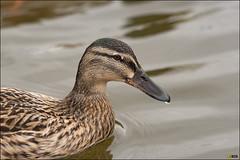 Berry Hill Park - 160502 - 817 (i-Tony) Tags: duck nikon 300mm d750 f4 pf berryhillpark itony iamitony