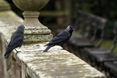 IMG_3010 (Chris Illman) Tags: abbey fountains fountainsabbey corvid jackdaw