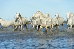 40080993 (wolfgangkaehler) Tags: horse white france water french europe european running wetlands marsh splash herd marshland wetland camargue southernfrance splashing marshlands galloping 2016 whitehorses camarguehorses