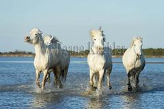 40081036 (wolfgangkaehler) Tags: horse white france water french europe european running wetlands marsh splash herd whitehorse marshland wetland camargue southernfrance splashing marshlands galloping 2016 whitehorses camarguehorses intocamera towardscamera
