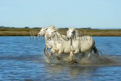 40080977 (wolfgangkaehler) Tags: horse motion france water french blurry europe european slow blurred running wetlands marsh splash herd marshland wetland camargue slowshutterspeed southernfrance splashing marshlands galloping 2016 camarguehorses