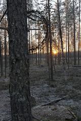Wunjo (ikithule) Tags: autumn sunset pine forest symbol mets syksy srt auringonlasku taide mnty piikkilanka symboli symbolis jannemaikkula symbolismi syystalvi ikithule