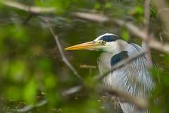 gut versteckt - Graureiher (MaikeJanina) Tags: bird heron grayheron greyheron birdwatchers reiher fischreiher graureiher vogelfotografie naturfotografen