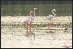 DSC_7747 (torben84) Tags: lake bird birds lago nikon rosa uccelli firenze tamron phoenicopterusroseus avifauna laje aereoporto fenicotteri phoenicopterus roseus fenicottero migrazione peretola 150600 d7200