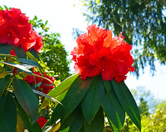 8937  Roter Rhododendron. Red Rhododendron. (Fotomouse) Tags: red plant flower rot garden flickr outdoor blossoms pflanze rhododendron 1001nights blume bushes garten shrubbery draussen blten strucher orbiculare fotomouse