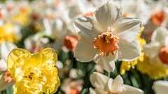 EMRGAN NIKON0239crop LR5 (fbegemenfb) Tags: plant flower field turkey landscape nikon outdoor trkiye sigma istanbul flowerbed trkei tulip d750 fullframe tulpe sigma50mm lale emirgan emirgankorusu sigma50mmf14 lalefestivali sigmaart tulipsfest sigmaartseries nikond750 nikontrk tamkare