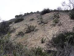 CAWR Survey 2016 (William Cullen) Tags: cactuswren ranchopalosverdes coastalsagescrub palosverdespeninsulalandconservancy williamcullen portuguesebendreserve portuguesebendnaturepreserve